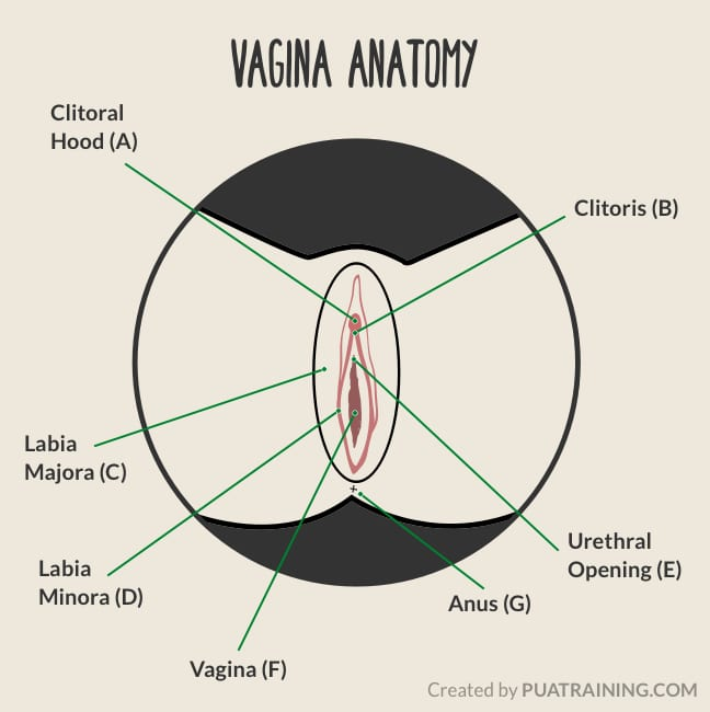 Illustration of a female vagina showing each part.